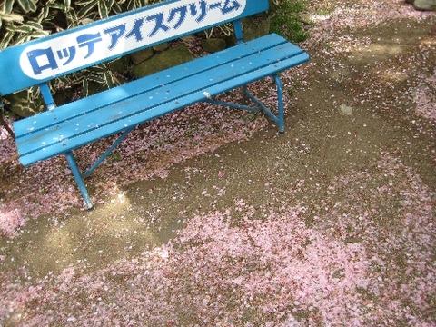 彦根城 桜